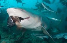 bull_shark_0303.jpg